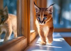 New cat! Caracal cat.  Powered by: @JeffThings
