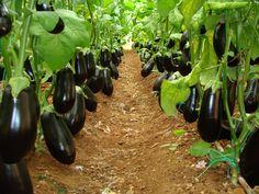 Growing eggplant – Garden Arrangement and Gardening Tips Growing Eggplant, Eggplant Seeds, Hydroponic Gardening, Hydroponics, Organic Gardening, Exotic Fruit, Tropical Fruits, Planting Vegetables, Growing Vegetables