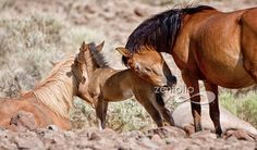 Wild Mustangs.... http://www.facebook.com/cowboymagic