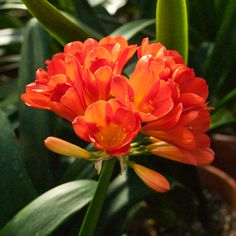 Clivia miniata, BC Red x TO Red.  Colorado Clivia's plant number 65F.