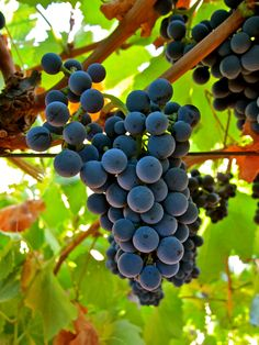 Tinta Cao (Silvaspoons Vineyards; Alta Mesa AVA)