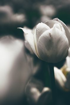 Free download of this photo: https://www.pexels.com/photo/white-tulips-flower-115115/ #flowers #macro #bloom