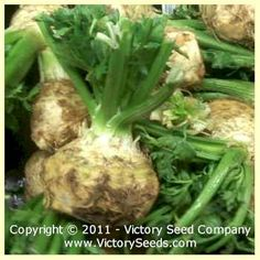 Giant Prague Celeriac AKA Rooted or German Celery - 120 days (Victory)