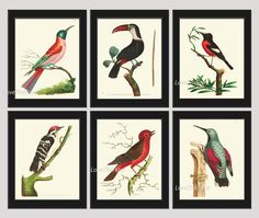 Bird Print Set of 6 Prints Antique Beautiful Bee Eater Toucan Woodpecker Flucatcher Red Birds Tree Branch Green Leaves Home Room Decor Wall Art Unframed NODD. Beautiful set of 6 prints based on antique bird illustrations from 1780. Wonderful details, colors and natural history feel. • The prints measure 4x6, 5x7, 8x10, or 11x14 inch. based on your selection come with a white border for easy framing. • Printed on professional artist archival matte paper. • The prints are part of Amazon...