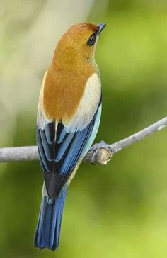 Chestnut Backed Tanager - Picture Colors :: Blue, Navy, Mustard, Green