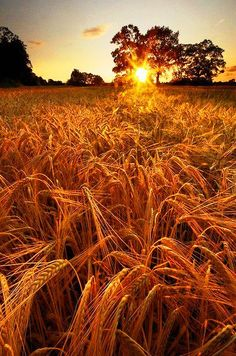 'You'll remember me when the West Wind blows on the fields of barley, we'll forget the Sun in his jealous sky among the fields of gold.' Fields of Gold Fields Of Gold, Esprit Country, Beautiful World, Beautiful Places, Beautiful Sunset, Simply Beautiful, All Nature, Belleza Natural, Farm Life