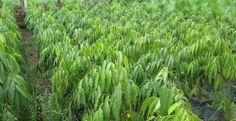 Bán Cây Hoàng Nam Giống cao từ 60cm đến 3m và các loại Giống cây lâm nghiệp, cây ăn trái. Liên hệ: 0909.551105 Mr Bình