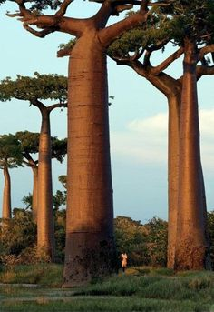 Baobab Tree - Baobab also known as 'The Tree of Life' is an extraordinary African tree. It can live as long as 5000 years and the trunk can reach up to 82 feet in circumference. Baobab is often called the 'upside down tree' as its branches look like roots.
