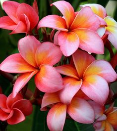 Plumeria... by Kenneth Er