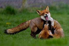 Happy foxes playing ~ Flo and one of her cubs in some playful behavior at the BWC
