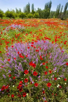 Field of European poppies mixed with many species of wildflowers, Turkey