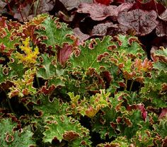 Heuchera Sashay/ coral bells, full sun/part sun. bloom in July- Aug. (want these to mix with those I have around edging.}