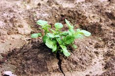One of the most important parts of potato cultivation is the hilling of the plant. Once your potato plants start to grow, you'll have to hill your plant. In this post we will discuss the process of hilling and why it is so important for growing potatoes. What is Hilling:... Garden Hoe, Potato Vines, Plant Stem, Growing Veggies, Plant Supports, How To Grow Taller, Potatoes, Landscape