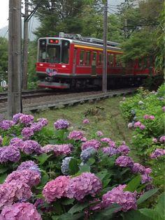 Hydrangea Train-- Hakone, Japan