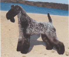 """Kerry Blue Terrier - """"Affectionate with the family. Alert, determined and rowdy. A good watchdog, but will not attack unless provoked. Weekly bathing will not dry out the skin. Terrier Dog Breeds, Terriers, Rare Dog Breeds, Pet Breeds, Big Dog Little Dog, Portuguese Water Dog, Purebred Dogs, Wild Dogs, Working Dogs"""