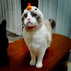 chicken cat bahahaha