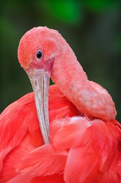 Scarlet Ibis by Ray (Bird Photography), via Flickr (looks coral in this photo)
