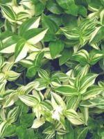 Landcraft Environments Wholesale Tropical Plants for Temperate Climates: Tradescantia