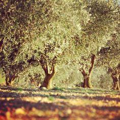 Un champ d'olivier provençal