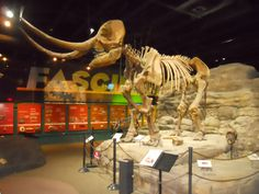 a mammoth at the McKinley Science Center