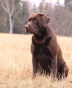 Mind Blowing Facts About Labrador Retrievers And Ideas. Amazing Facts About Labrador Retrievers And Ideas. Labrador Retriever Chocolate, Chocolate Lab Puppies, Chocolate Labs, Labrador Retrievers, Labrador Puppies, Retriever Puppies, Corgi Puppies, Golden Retrievers, Big Dogs