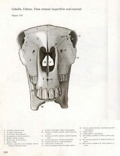 Esqueleto equino