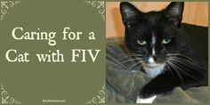 Caring for a Cat with FIV