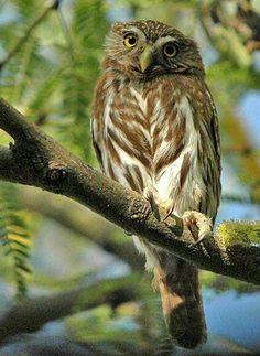 Ferruginous Pygmy Owl (Photo taken by Sky Jacobs in the Sonoran Desert, northwestern Mexico. Wikimedia Commons)