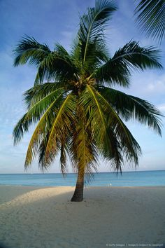 Palm Tree, Seven Mile Beach, Grand Cayman, Cayman Island. It was hard to come out of the water on this beach..can I please go back?