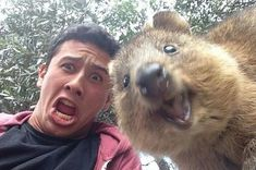 15 Quokka Selfies Too Cute to Ignore - I Can Has Cheezburger? 15 Quokka Selfies Too Cute to Ignore - I Can Has Cheezburger? Happy Animals, Animals And Pets, Funny Animals, Cute Animals, Animal Memes, Crazy Animals, Wild Animals, Selfies, Cute Photos