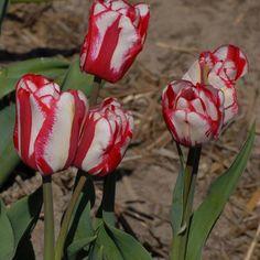 Single Late Tulip 'Cordell Hull'