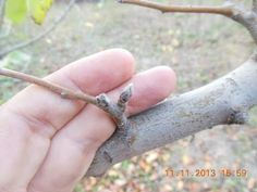 Apple Fruit, Fruit Trees, Grape Vines, Youtube, Silver Rings, Gardening, Agriculture, Apple, Vineyard Vines
