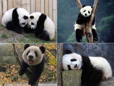Pandas! they are just so chill