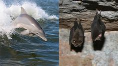 How bats and dolphins are genetically similar