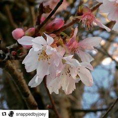 So pretty #Repost @snappedbyjoey with @repostapp  Bit of Friday pretty  #flowersandmacro #itsthelittlethings #pinkmakestheboyswink #blueskies