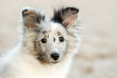 sheltie ~ Blue Merle