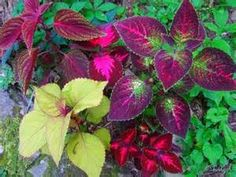 coleus - Yahoo Image Search Results