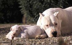 bellissima immagine di una mamma di dogo coi suoi cuccioli che riposano al sole!  www.allevamentodogoargentino.it