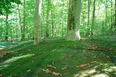 Cultivating thick, healthy and sustainable moss...the perfect ground cover for traditional oriental gardens.