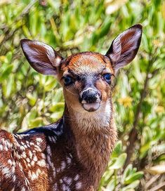Just a pretty little blue-eyed fawn to brighten your day 🦌 Forest Habitat, Bald Head Island, Brighten Your Day, Wildlife Photography, Pretty Little, Blue Eyes, Habitats, Kangaroo, Tours