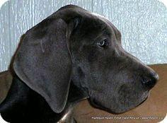 KAIYA. DOB: 7/2013, female, blue, natural ears. Her story: http://hhdane.org/danes/kaiya.htm.   Adoption info: http://hhdane.org/hhdane/procedure.htm