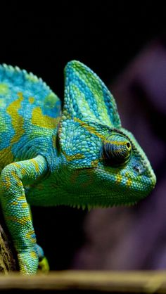 Chameleon Lizard iPhone 5 wallpapers, backgrounds, 640 x 1136
