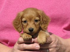"""Exceptional """"dachshund puppies"""" info is offered on our web pages. Take a look and you wont be sorry you did. Funny Dachshund, Dachshund Puppies, Dachshund Love, Cute Puppies, Cute Dogs, Daschund, Tiny Puppies, Baby Animals, Cute Animals"""