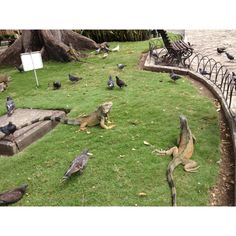 Iguana Park in Guayaquil, Ecuador. This is not a zoo! These iguanas roam free in this park - very cool!