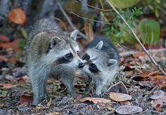 Super cute raccoons