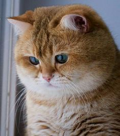 60 ideas for cats british shorthair sweets Cute Cats And Kittens, I Love Cats, Crazy Cats, Cool Cats, Kittens Cutest, Cute Fat Cats, Cute Baby Animals, Animals And Pets, Beautiful Cats