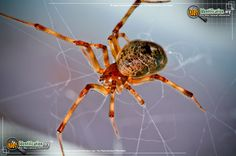 American House Spider - The spindly-legged and everpresent American House Spider is also known by the cobweb it creates.