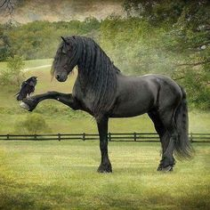 Friesians are graceful and nimble for their length. It is estimated that during the middle ages, ancestors of Friesian horses Nature Animals, Animals And Pets, Baby Animals, Funny Animals, Cute Animals, Pretty Horses, Horse Love, Beautiful Horses, Animals Beautiful