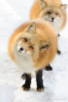 Red Foxes | fox-info.net - foxinfonet - fox_info_net