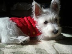 Kevin Bacon the West Highland Terrier